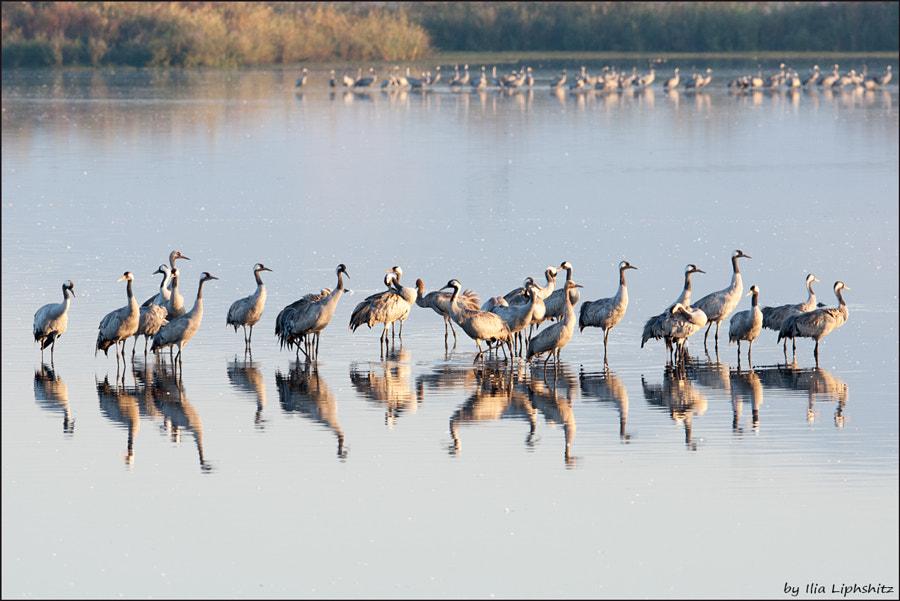 Morning cranes №45