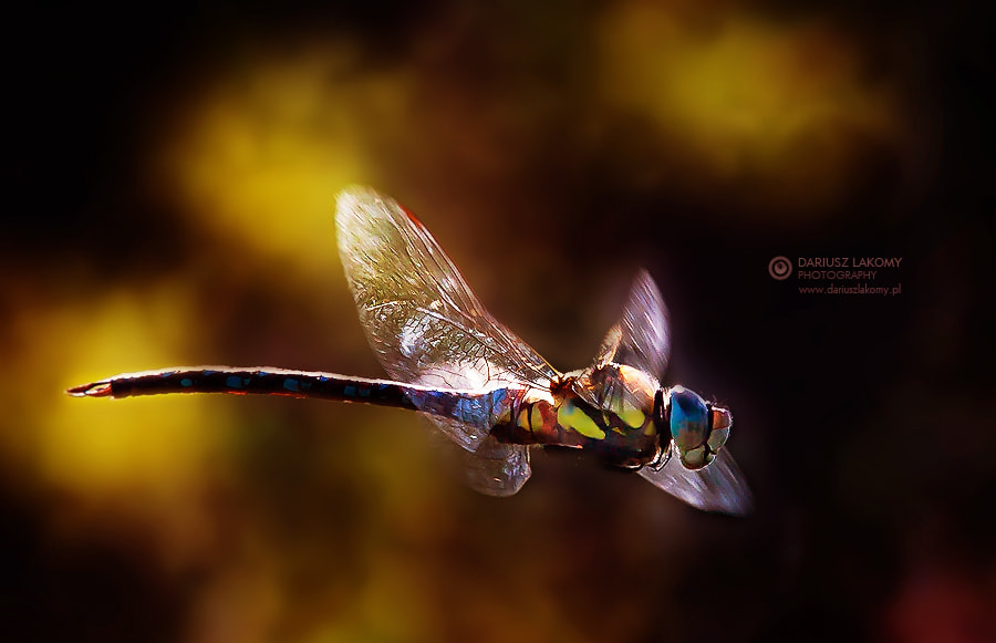 Photograph Dragon / fly by Dariusz Łakomy on 500px