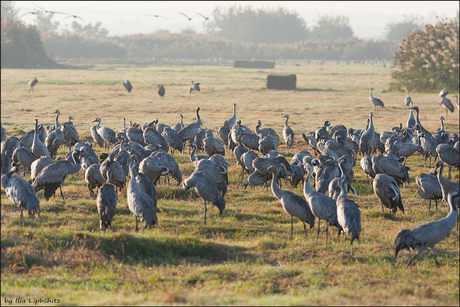 Morning cranes №46