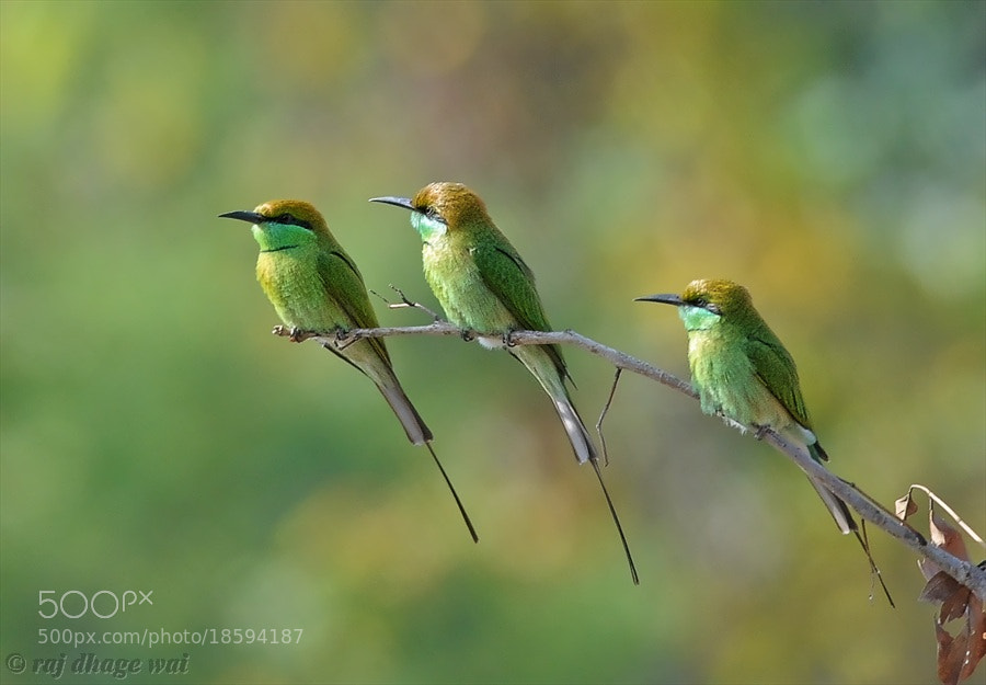 Photograph Green Bee-Eater by raj dhage on 500px