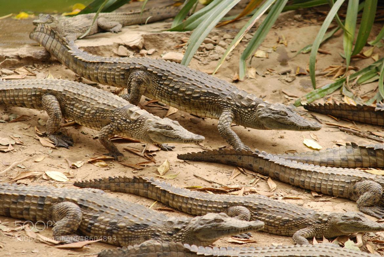 Photograph Crocodiles  by Mahery Andrianaivoravelona on 500px