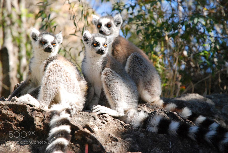Photograph Lémuriens by Mahery Andrianaivoravelona on 500px