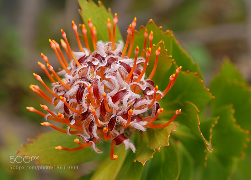 Photograph LEUCOSPERMUM erubescens. THE REAL DEAL!  by Magda indigo on 500px