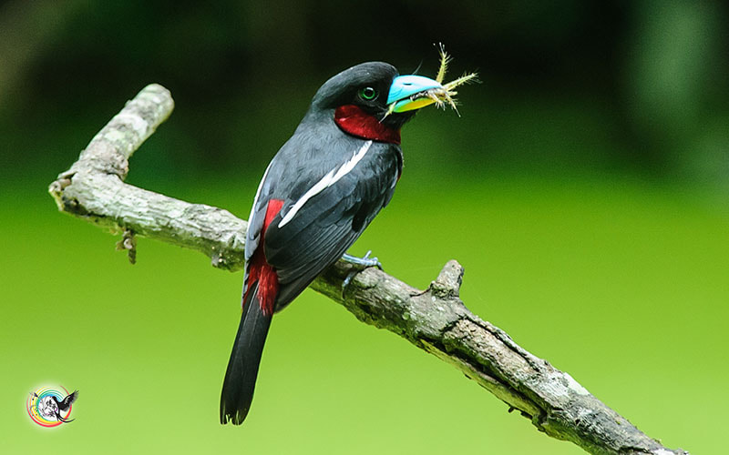 Photograph Black-and-red Broadbill by Andy Fu on 500px