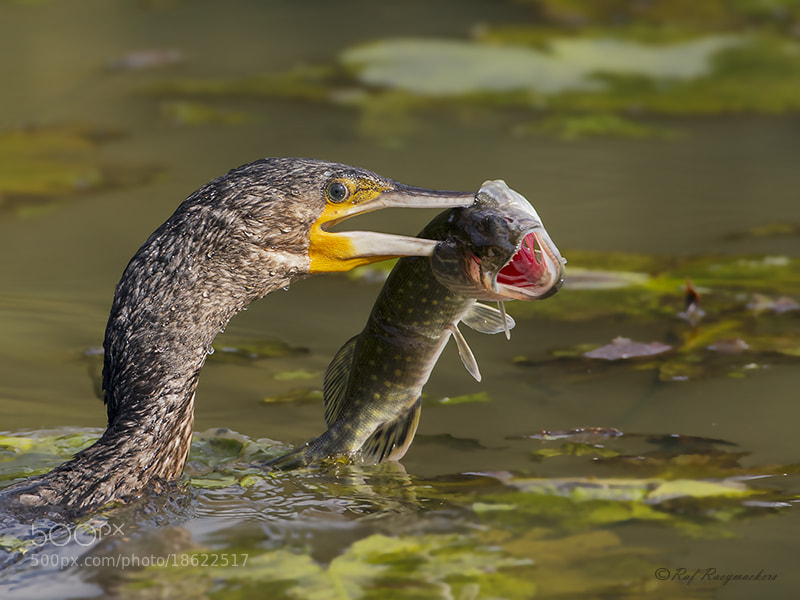 Photograph Great Cormorant by Raf Raeymaekers on 500px