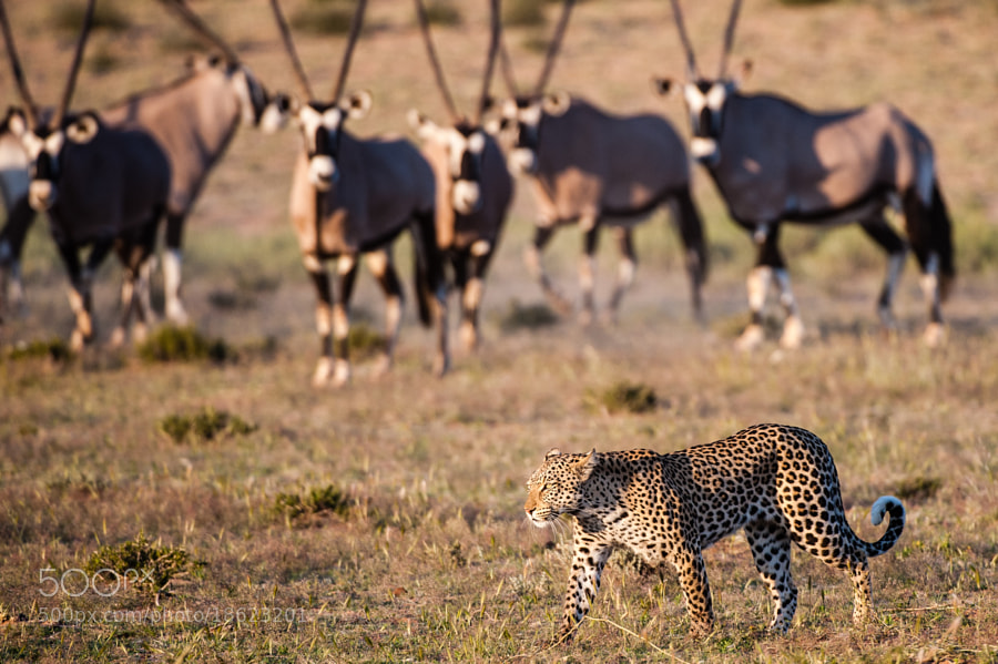 a leopard (the Twee Rivieren female) strolling by some Oryxs, who watch her quite carefully.