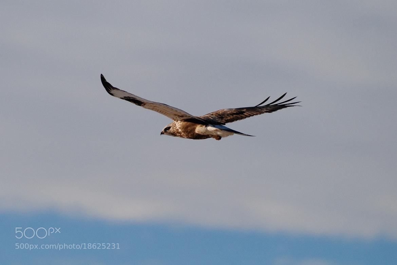 Photograph Hawk in Flight by Mark Jones on 500px