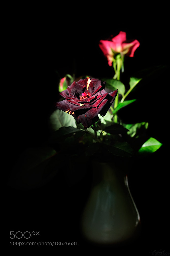 Photograph Black rose by Michael Babakov on 500px