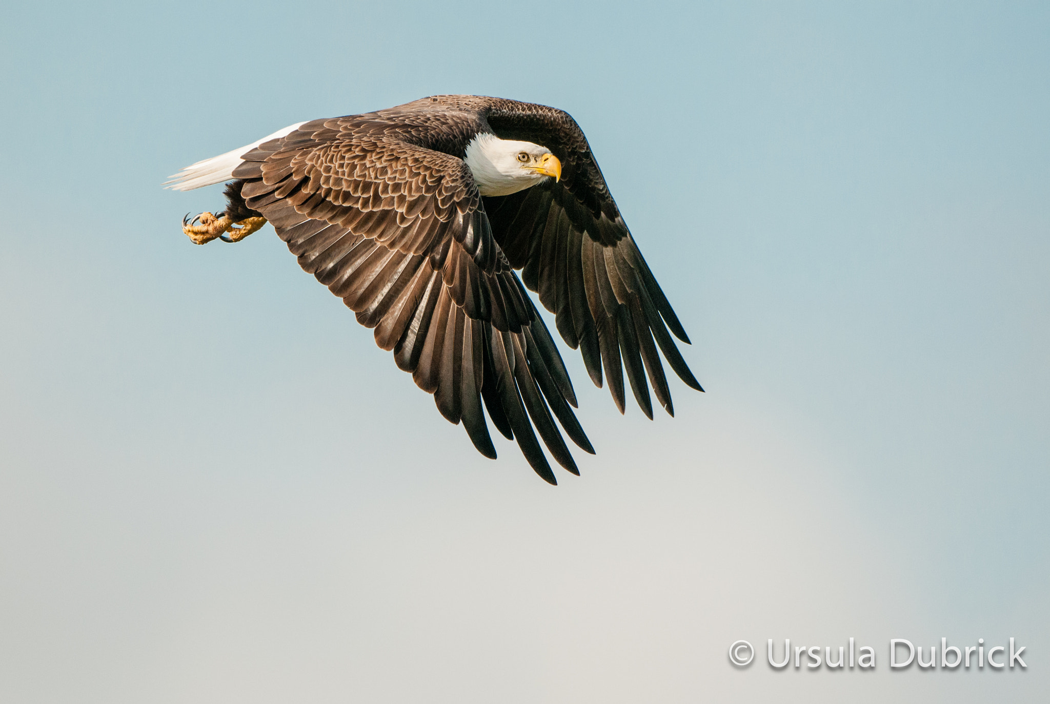 Photograph Eagle in Flight by Ursula Dubrick on 500px