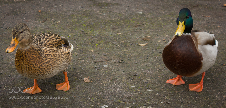Photograph wild ducks by Ilan Selz on 500px