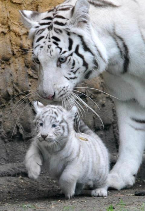 Photograph White Tiger by Saeed Hassan on 500px