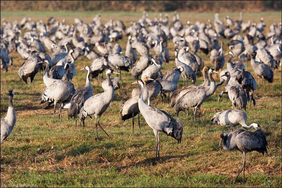 Morning cranes №47