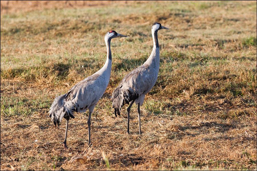 Morning cranes №48