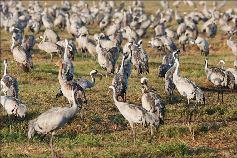 Morning cranes №49