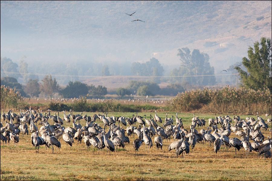 Morning cranes №50