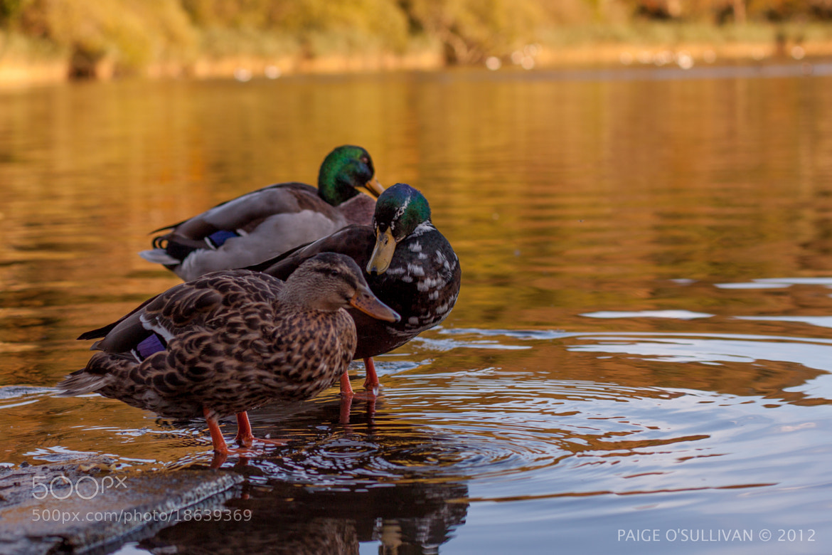 Photograph Mallard ducks by Paige O'Sullivan on 500px