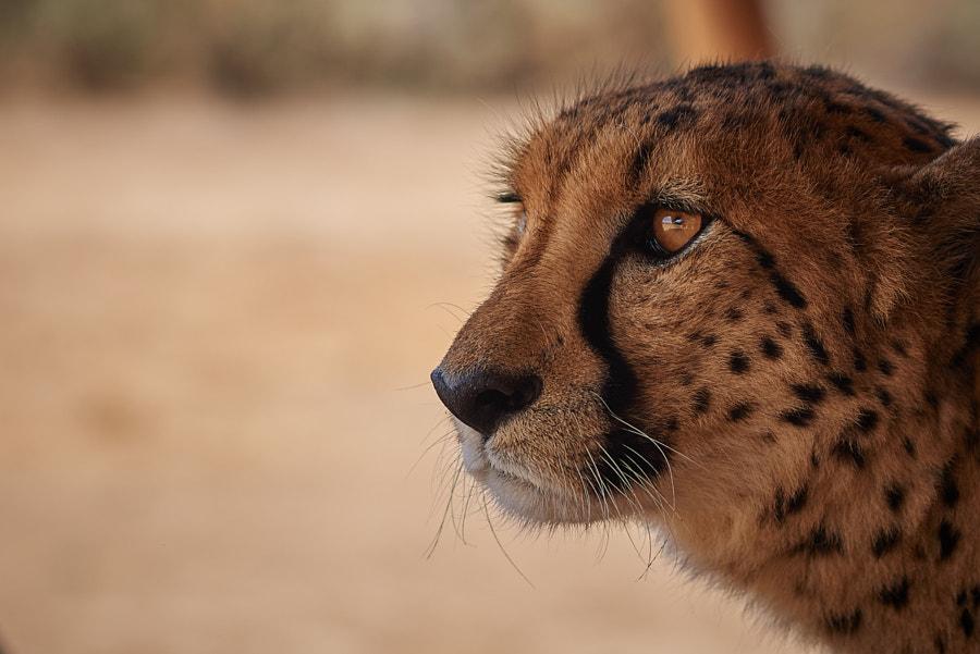 International Cheetah Day!