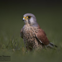Just a plain Kestrel Portrait...