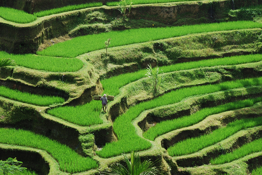 Bali Rice Field by Jarek A on 500px.com
