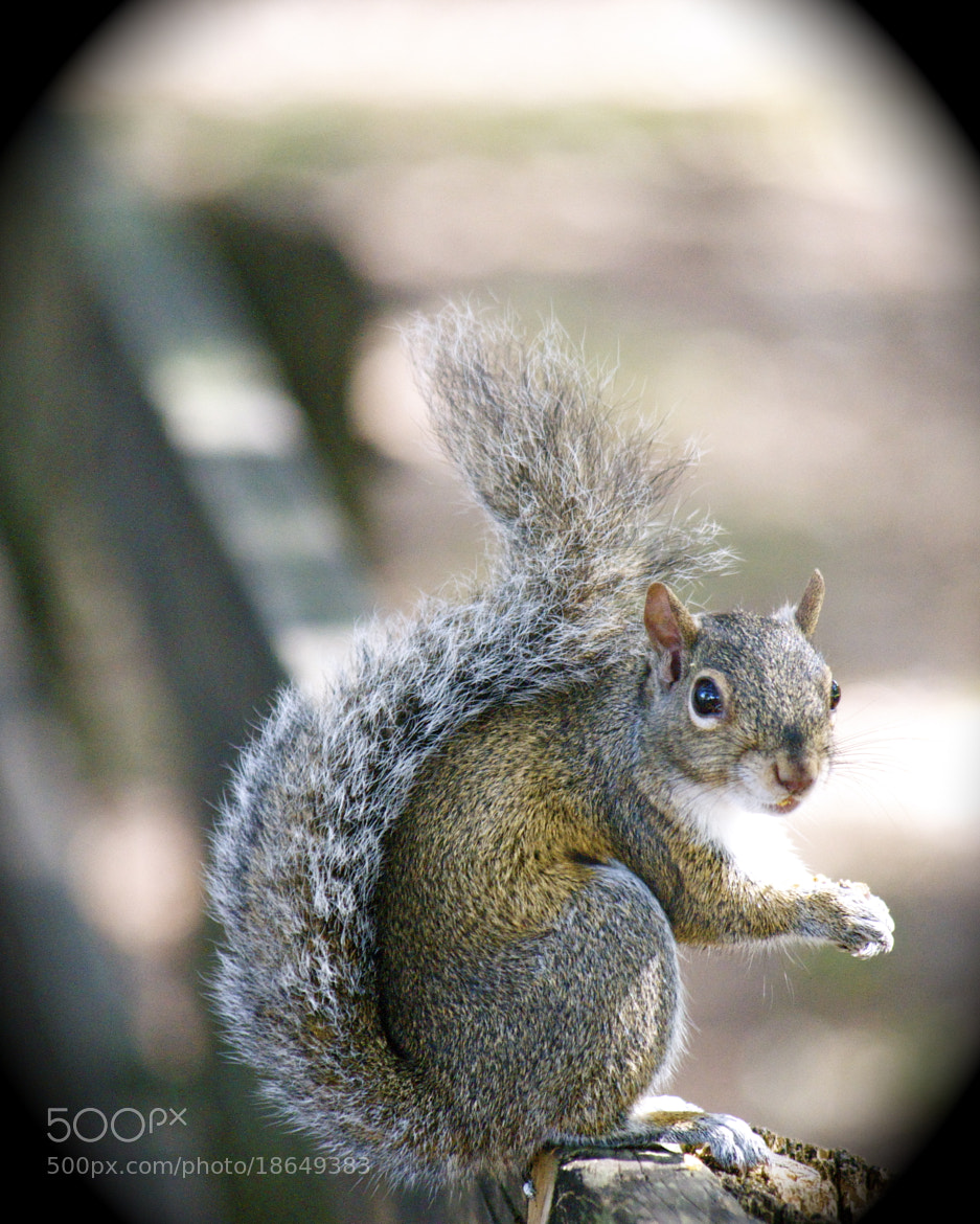 Photograph The Staring Squirrel by Vivian Barrios Photography on 500px