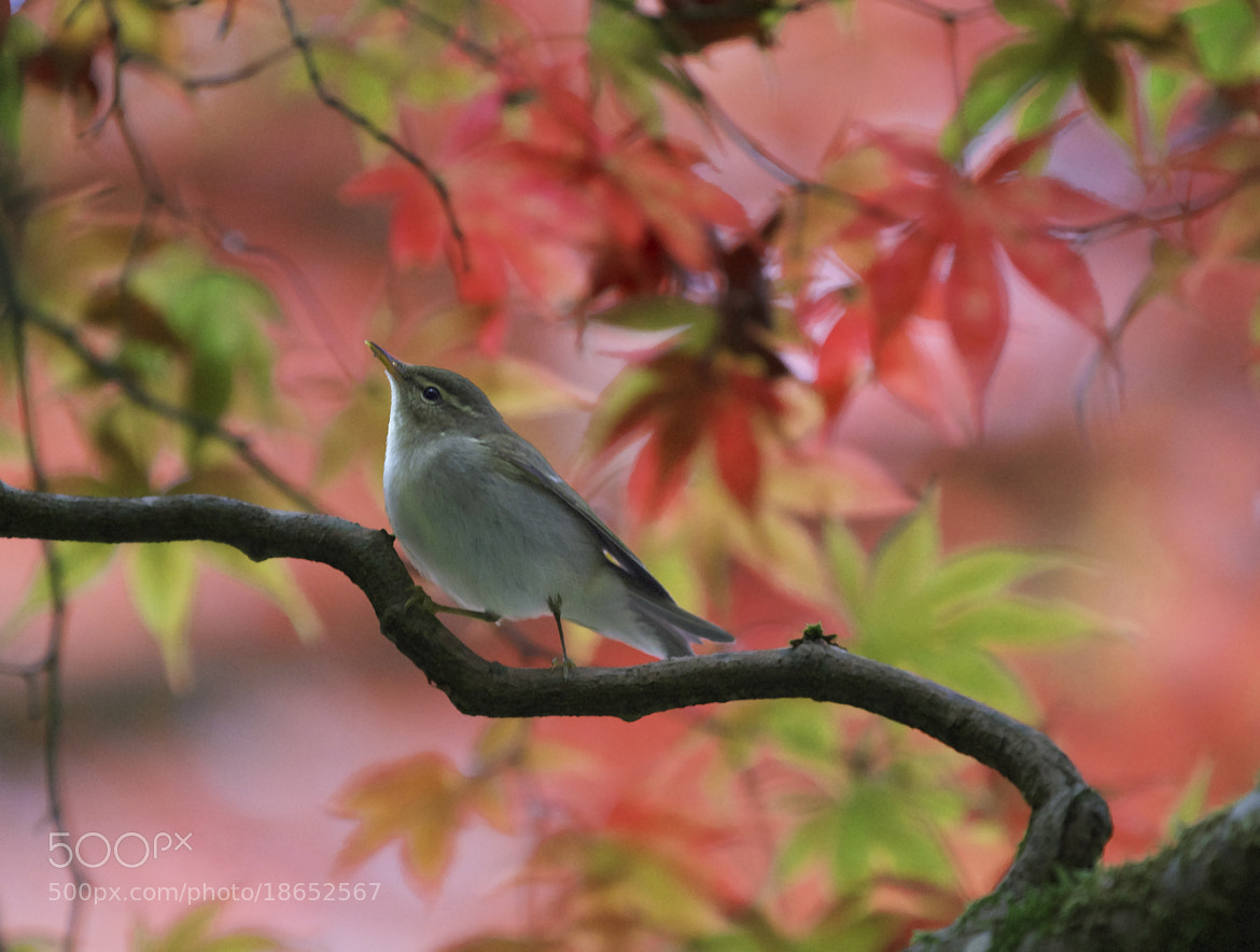 Photograph Bird in Autumn Maple Tree by Justin Sullivan on 500px
