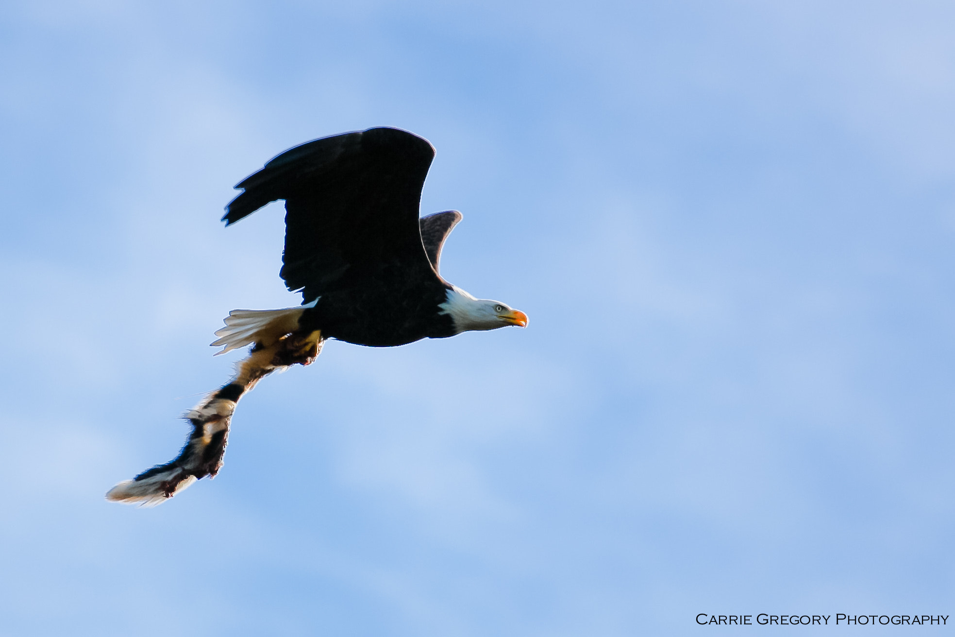 Photograph Bald Eagle #2 by Carrie Gregory on 500px