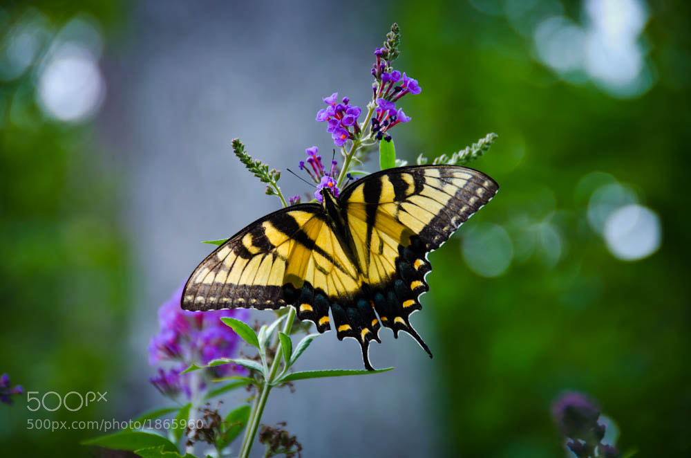 Photograph Swallowtail on Butterfly Bush by Jerry Kiesewetter on 500px