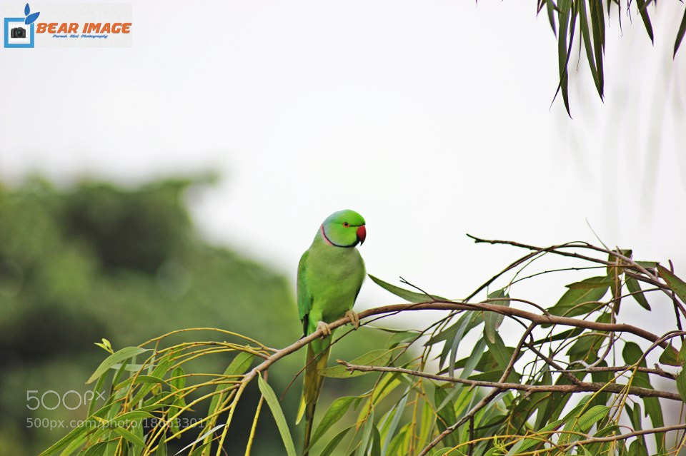 Photograph Parrot by Paresh Kini on 500px
