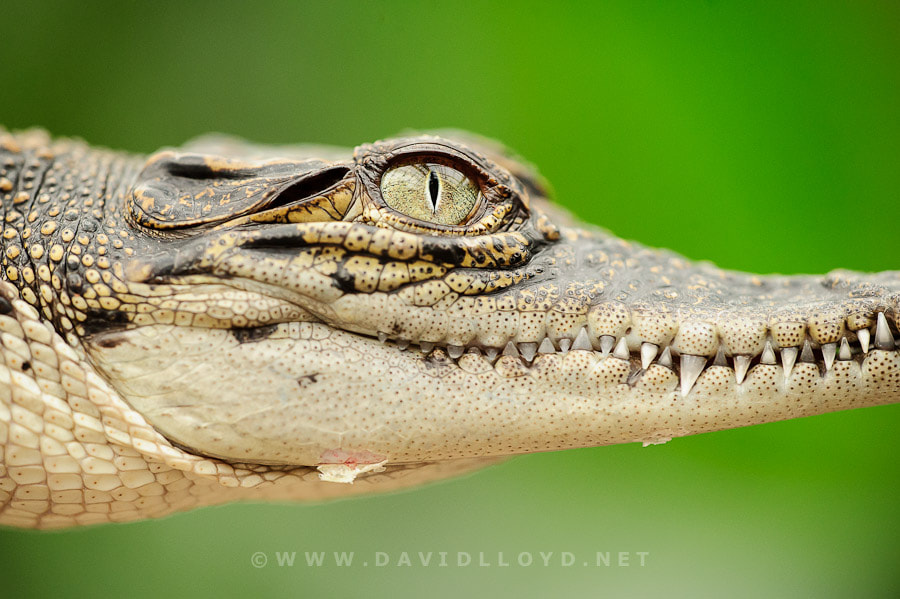 Photograph Crocodile Eye by David Lloyd on 500px