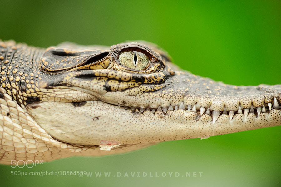 Photograph Crocodile Eye by David Lloyd on 500px