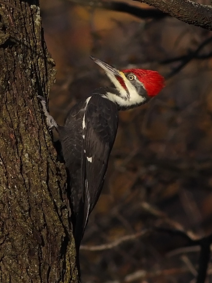Photograph Pileated Woodpecker by Phil Armishaw on 500px