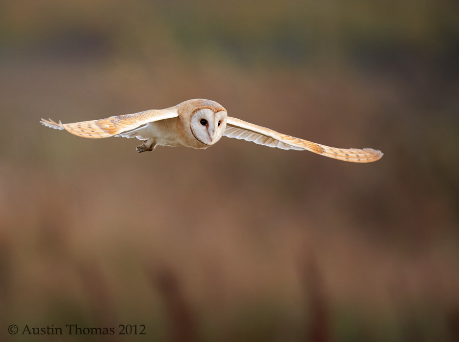 A Barn Owl hunting
