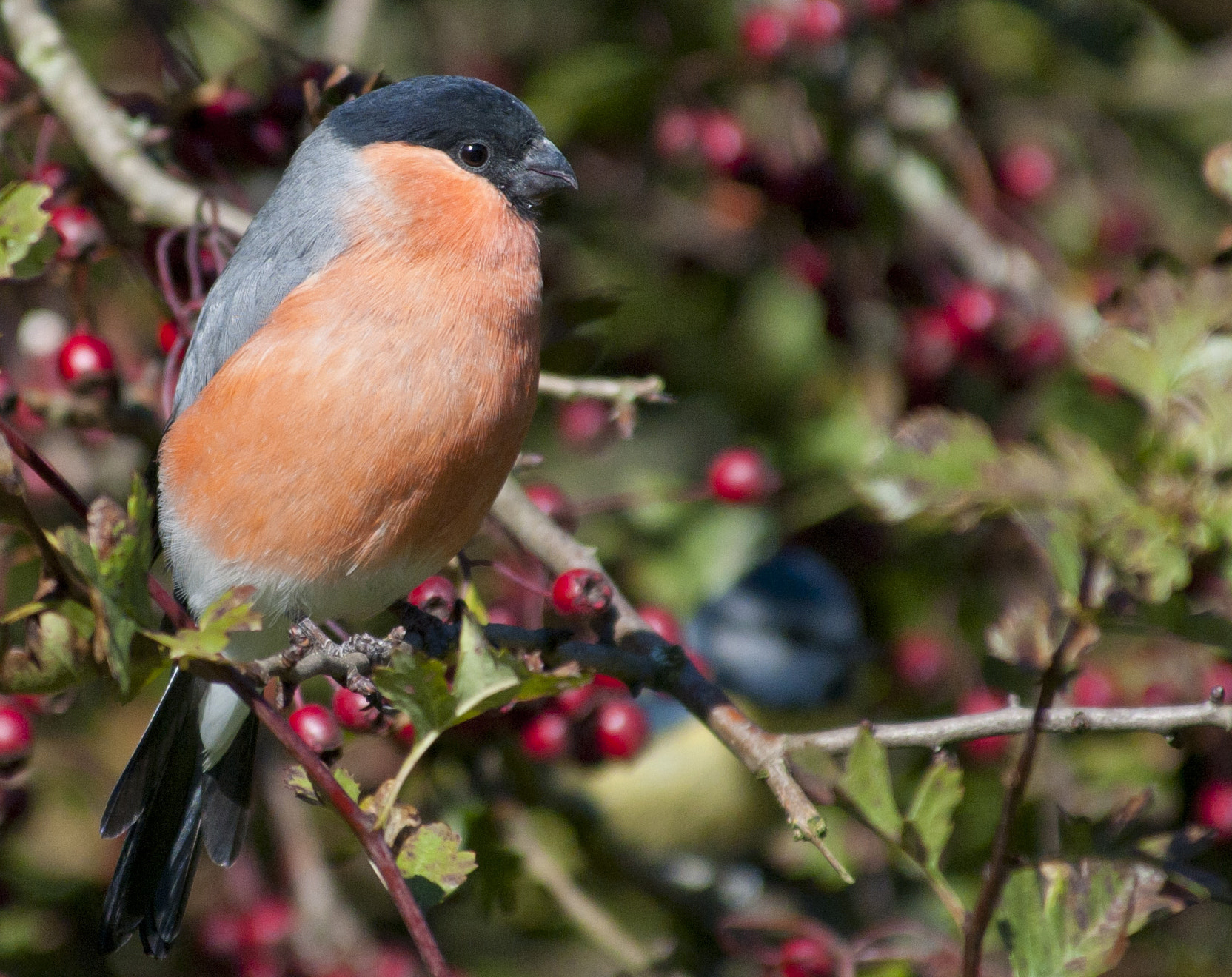 Photograph Bullfinch in the Berries by Chrissy Stone on 500px