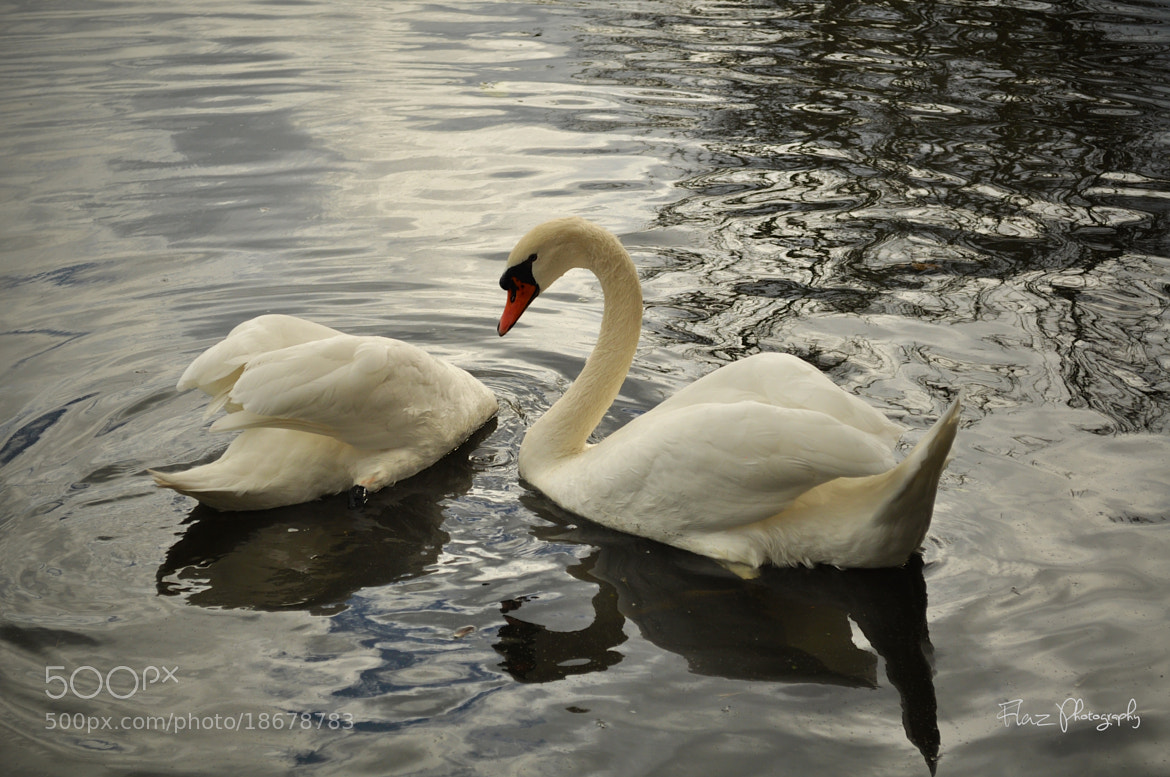 Photograph A swan and half by Florencia Azambuja on 500px