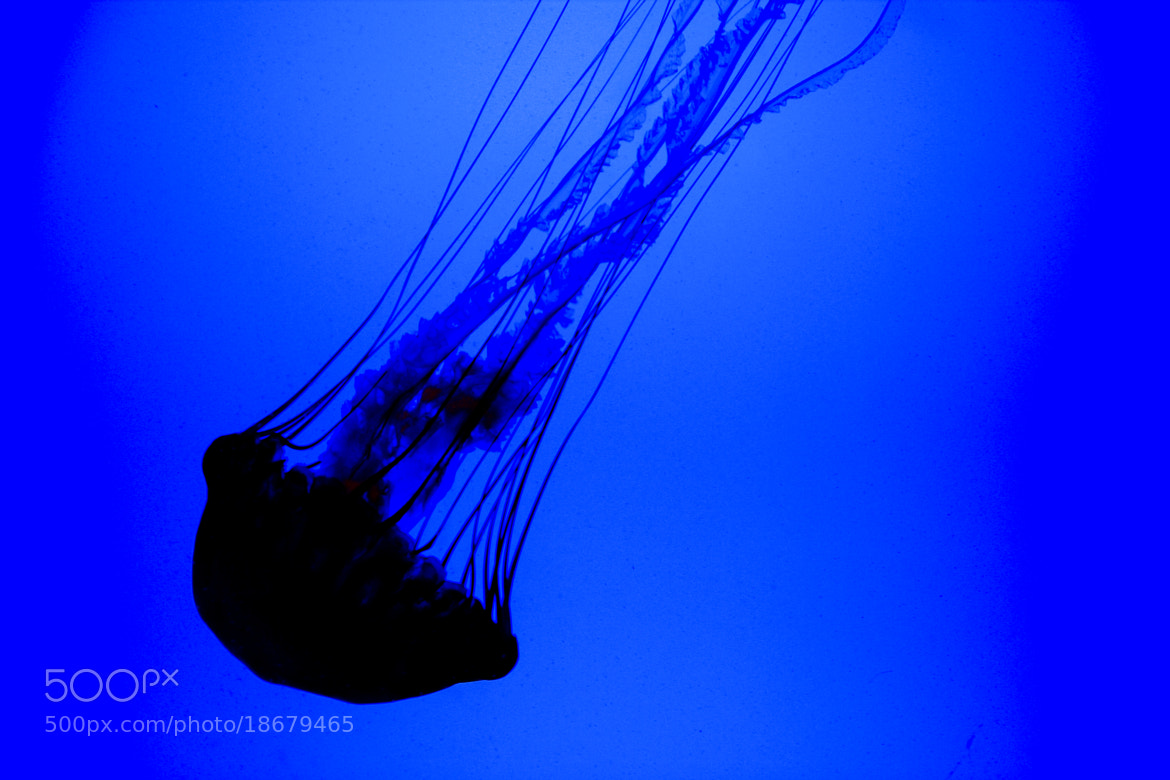 Photograph Jellyfish going down by Dirk Reuser on 500px
