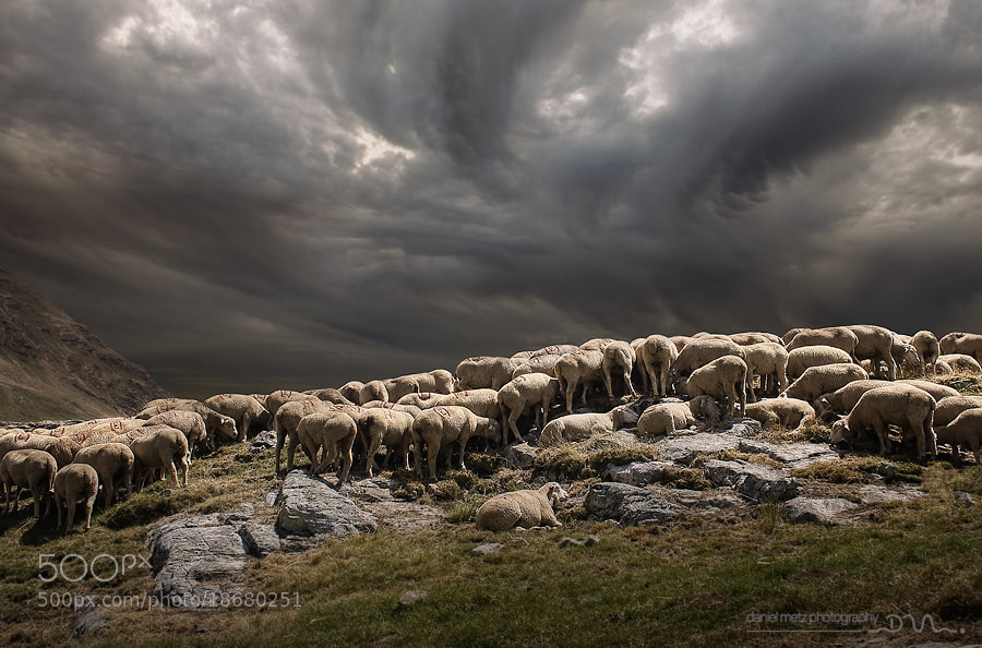 Photograph Flock in the Alps by Daniel Metz on 500px