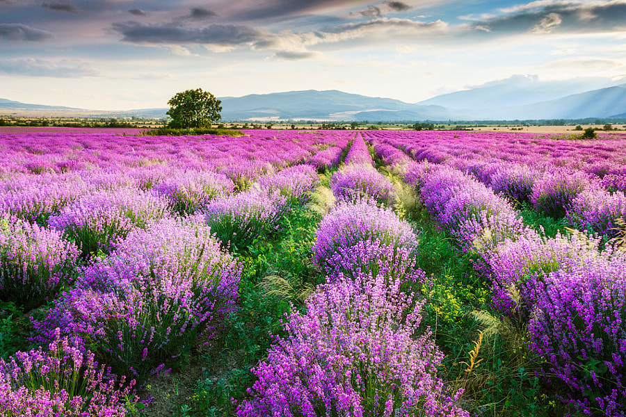 Bed of lavender by Evgeni Dinev on 500px.com