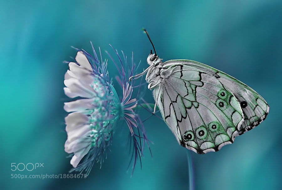 Photograph Melanargia titea by Mustafa Öztürk on 500px