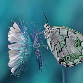 Melanargia titea by Mustafa Öztürk (Blackdiamond67)) on 500px.com