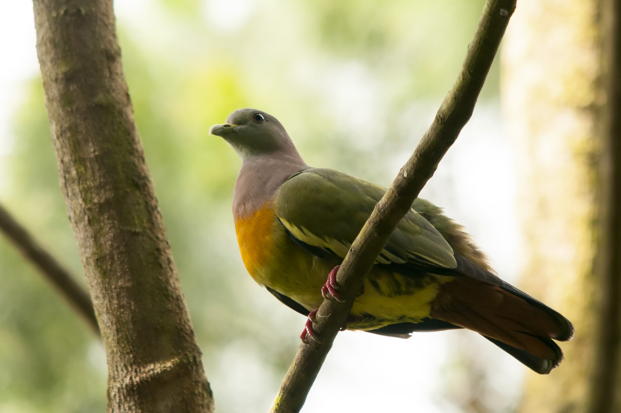 Photograph Pink-necked Pigeon by Allan Seah on 500px