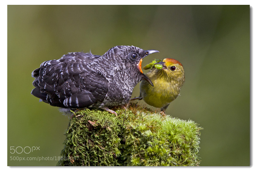 Photograph Simple Love....Brood parasitism by D. H. on 500px