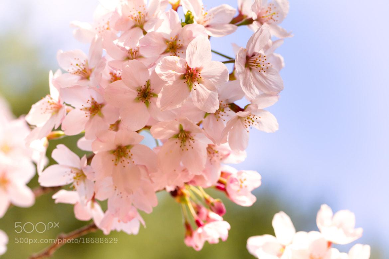 Photograph Cherry Blossom by Yoshitada Kurozumi on 500px