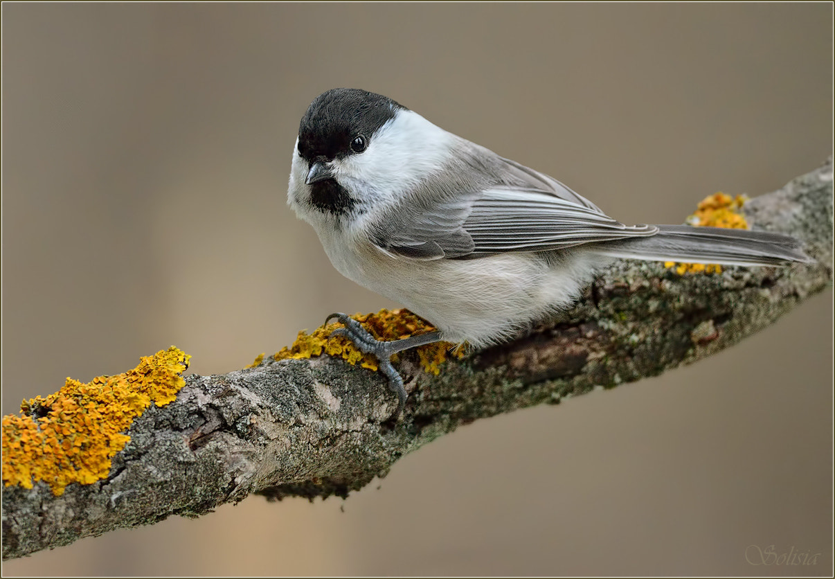 Photograph Willow Tit by Anna Golubeva on 500px