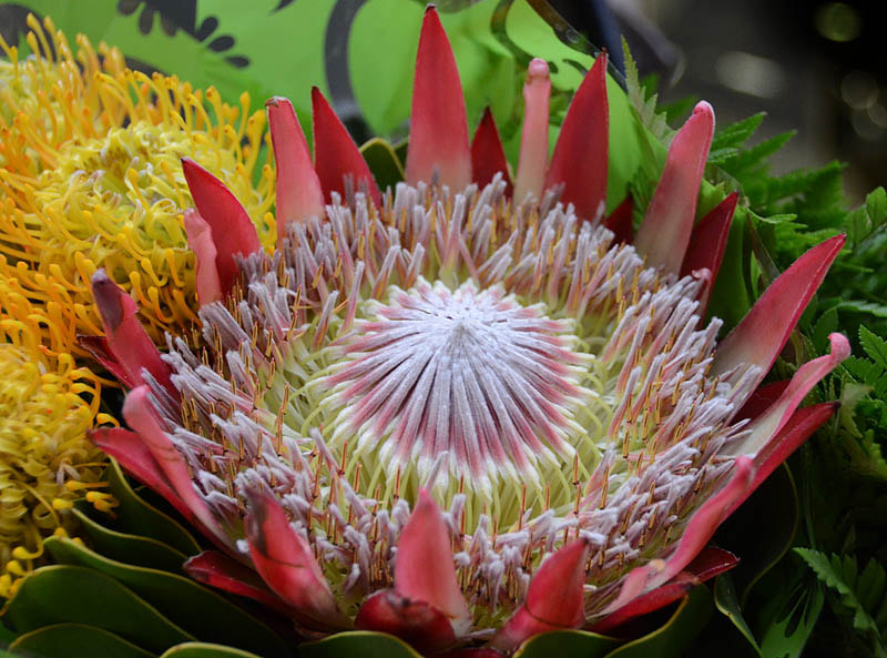 Photograph THE KING!!! PROTEA CYNAROIDES. by Magda Indigo on 500px