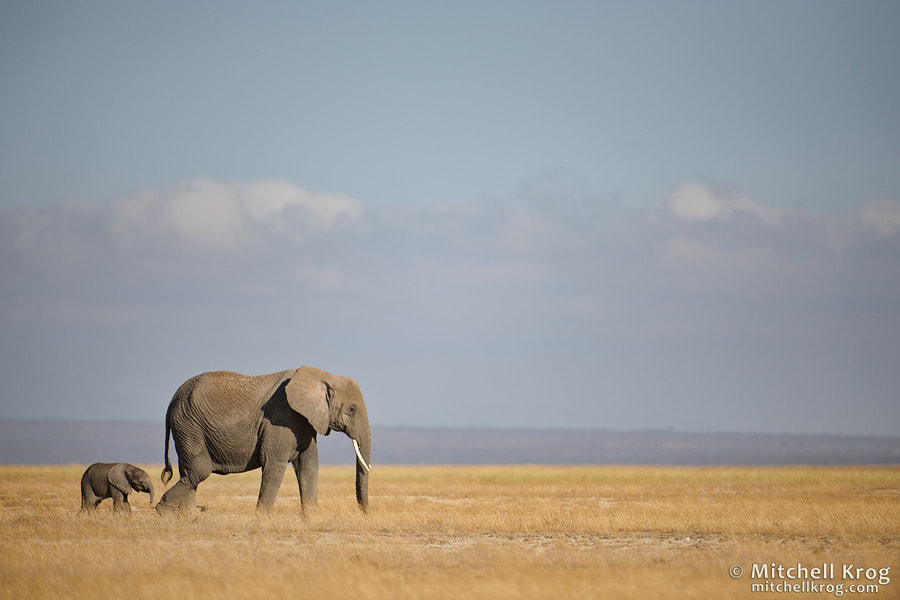 Photograph Elephant and Calf by Mitchell Krog on 500px