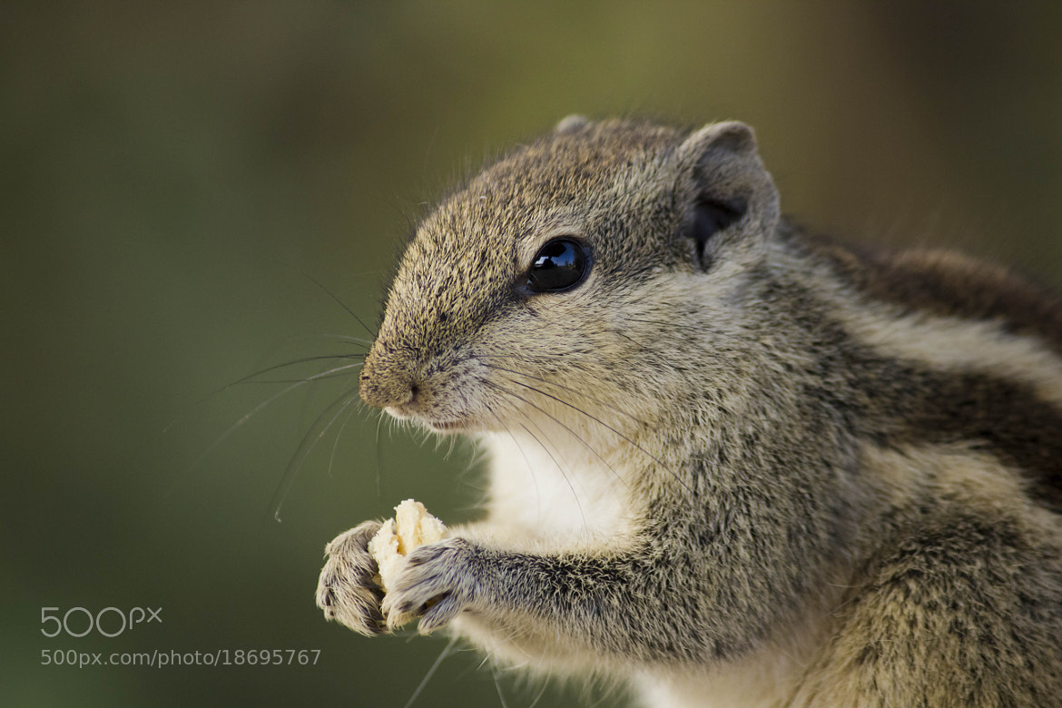 Photograph Squirrel  by Akshay Khare on 500px
