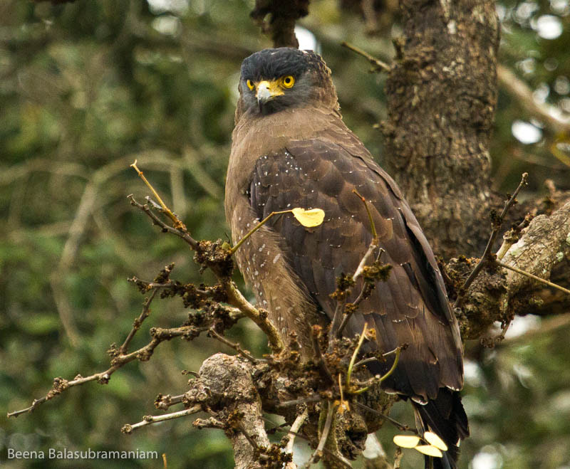 Photograph Crested Serpent Eagle by Beena Balasubramaniam on 500px