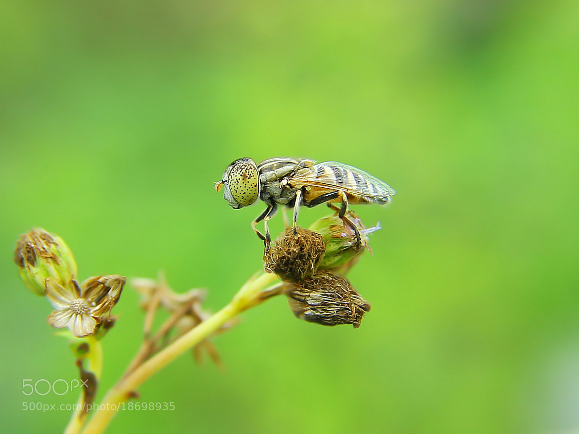 Photograph  Fruitfly by Iwan Ramawan on 500px