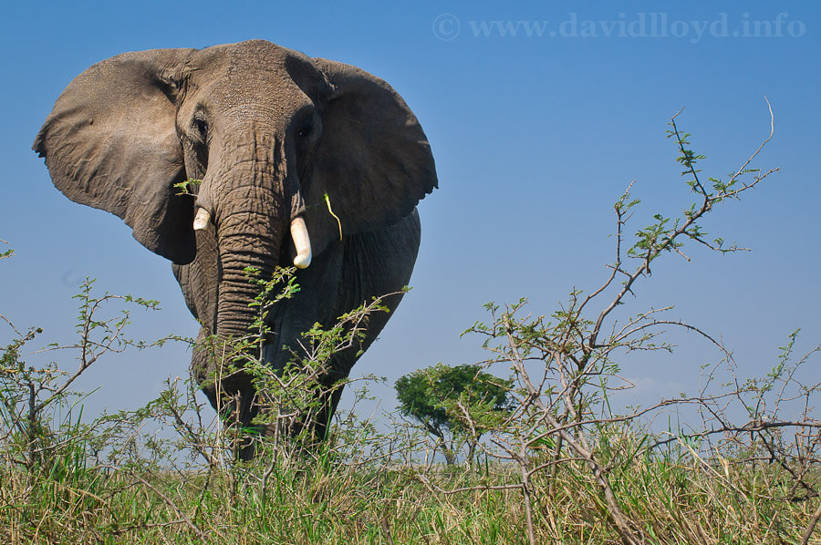Photograph Elephant Approach by David Lloyd on 500px