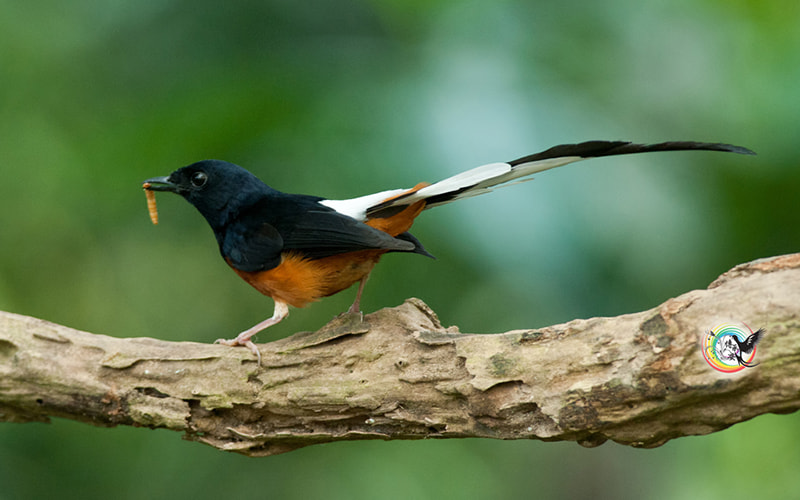 Photograph White-Rumped Shama 白腰鹊鸲 by Andy Fu on 500px